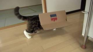 持っていくことにしたねこ。-Maru moves with the box.- thumbnail