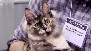 CFA International Cat Show 2018  Turkish Angora kitten class judging