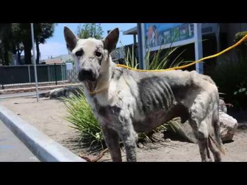 Posse - Coastal German Shepherd Rescue OC