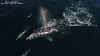 Grey Whale Mother and Calf Have Dolphins for Company During Southbound Migration