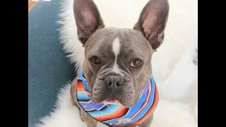 Summer Dog Bandanas and Collars HD