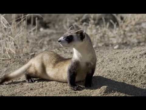 Conservation Success Stories: The Black-Footed Ferret