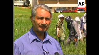 PHILIPPINES: SCIENTISTS DEVELOPING NEW STRAIN OF RICE