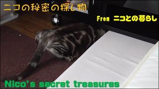 アメショーの子猫ニコ 秘密の探し物 A kitten Nico's secret treasures ...