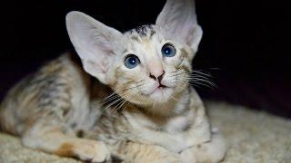 Уход за Ориентальной Кошкой, Породы кошек