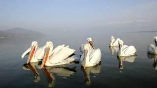 Dalmatian Pelicans on Lake Kerkini Short clip of the pelicans on Lake Kerkini in Northern Greece.  Shot on Nikon D3S , 4 March 2011.  See photos at http://raymorris-hill.smugmug.com/Wildlife/Lake-Kerkini/16151701_Gciq7#1213680661_SLZgJ