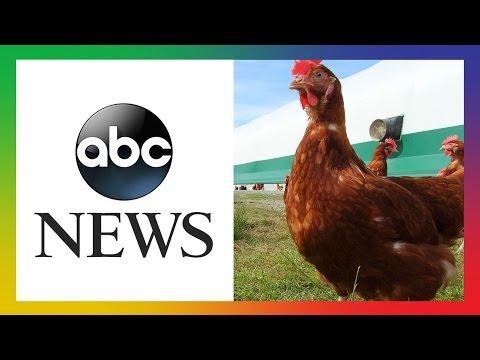 WATCH: ABC News Follows Activist Into Egg Farm