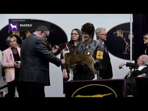 Basenjis part 1 | Breed Judging 2019