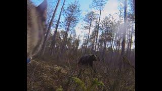 Охота на медведя с лайками.