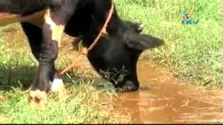 Cow gets drunk and staggers