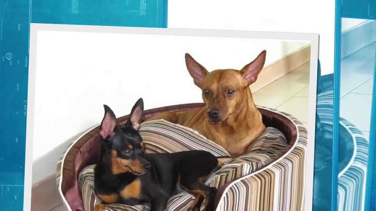 Dwergpincher pups te koop youtube - Te koop ...