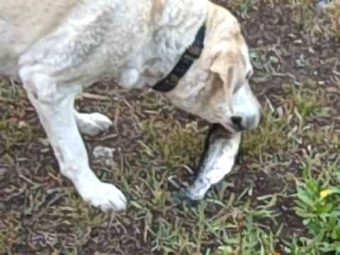 Political dog eats whole raw fish youtube for Raw fish for dogs