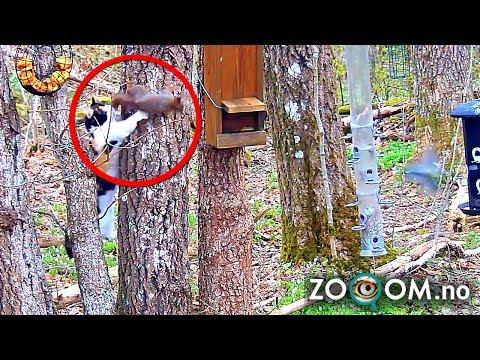 CAT ATTACK!! Squirrel Tricks Death on Live Cam