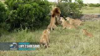 Lwy z Sabi Sand - Discovery Channel