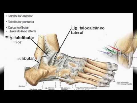 Anatomia e Ações Musculares do Pé e Tornozelo