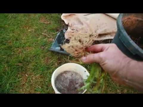 grow Mycorrhizae Fungi fast