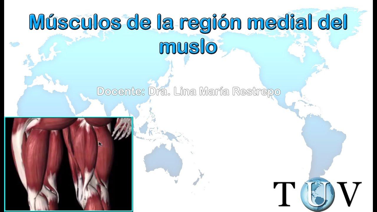 Músculos de la región medial del muslo - anatomía del cuerpo humano ...