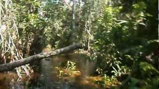 Piracema de traíra em Rondônia