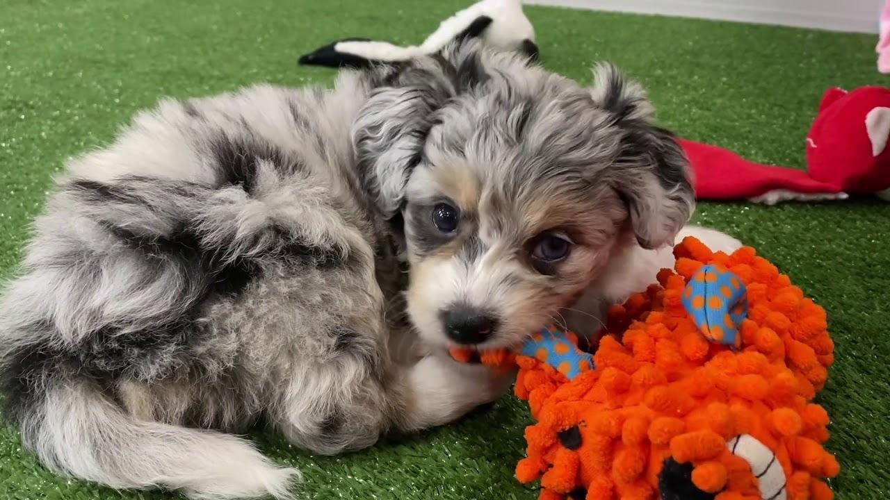 Meet Twilight Our Adorable Aussiechon Puppy Youtube