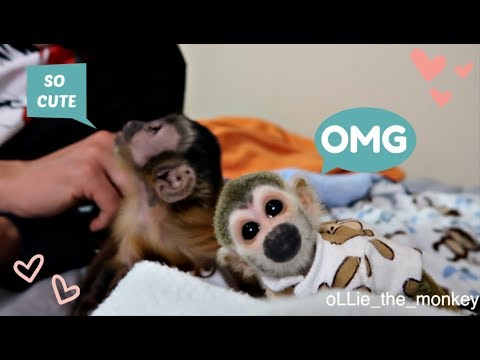 Baby Monkey oLLie  Playtime with Happy the Capuchin!