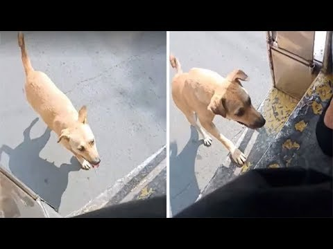 stray-dog-doesn't-stop-chasing-bus-until-driver-adopts-her