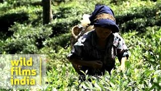Indian tea garden workers pluck tea leaves, Darjeeling