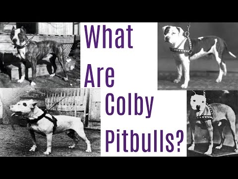 What Are Colby Pitbulls?