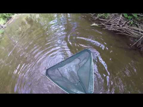 Stocking My Native Tank With My Crayfish Trap & Dip Net In Murphy's Run