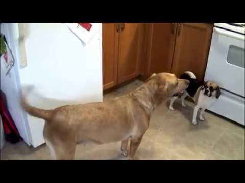Rhodesian Ridgeback/Labrador cross Named Maple Knows Her Dinner is on the stove