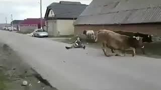 Можно ли перепрыгнуть через коров