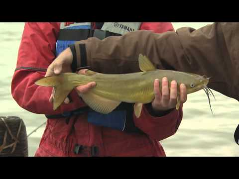 Channel Catfish -- Grand River, Dunnville, ON  Part 1 Of 4