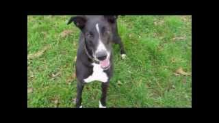 Lurcher Dog Jumps 5 Bar Gates (and Chases Balls)
