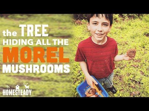 FIND THIS TREE AND FIND MOREL MUSHROOMS! A Pennsylvania Morel Mushroom Hunt