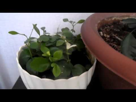 Мурайя, цветочек и зеленые ягодки