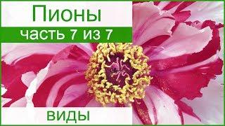 🌸 Виды пионов по строению цветка, сорта пионов