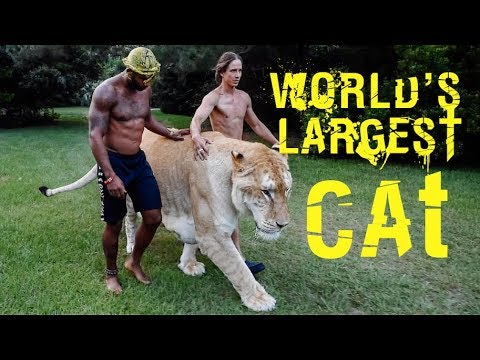walking-the-worlds-largest-cat