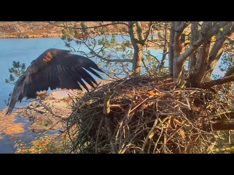 Smola Norway Eagle Cam ~ Solo's Home ~ Nice Visit + Resting In Nest 9.3.17