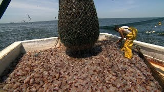 How To Harvest JellyFish? - Jellyfish Processing and Jellyfish fishing