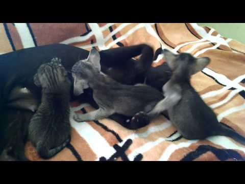 Ориентальные котята ElvenPride