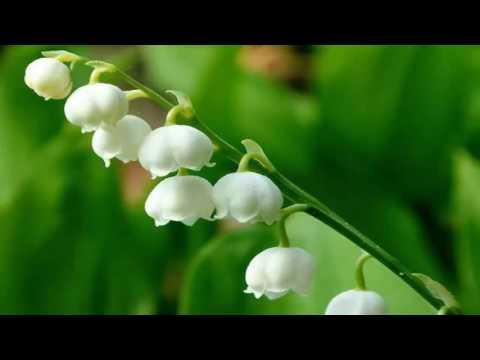 Ландыш майский. Лекарственные травы