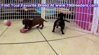 Miniature,dachshund, Puppies, For, Sale, In, Indianapolis, Indiana, In, Valparaiso, Goshen, Westfiel