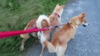 山陰柴犬3匹散歩.
