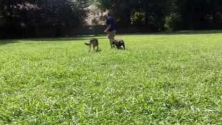 Gus Dog Training Video Memphis Tn