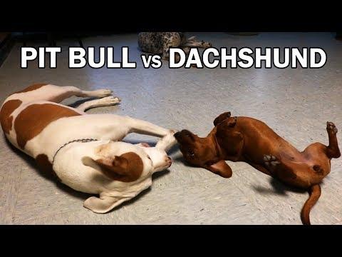 Pit Bull Mutt VS Miniature Dachshund - A Dogmata Moment
