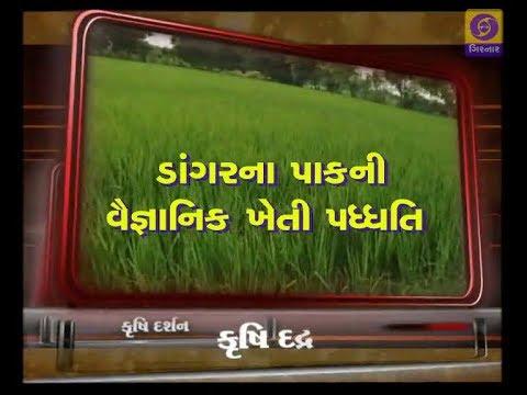 ડાંગર ની ખેતી | ડાંગરનો પાક કઇ રીતે કરવો  | Krishi Darshan | Paddy Farming