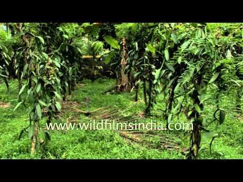Vanilla orchid vines: where your ice cream flavouring comes from!