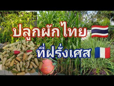 ปลูกผักไทยในฝรั่งเศส พริก มะกรูด ตะไคร้ งามๆ/France Daily