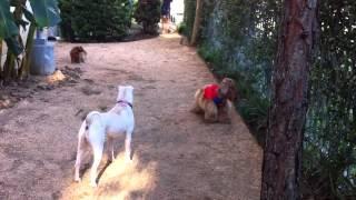 Super Dog - Sebastian The American Cocker Spaniel
