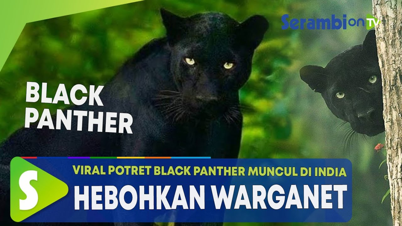 Viral Potret Black Panther Muncul di India Hebohkan Warganet