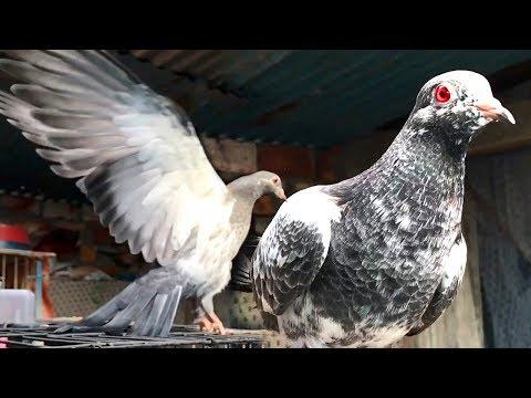 Pakistani High Flyer Kasuri Kabootar Baby Kasoori Pigeon Chicks Pure Breed
